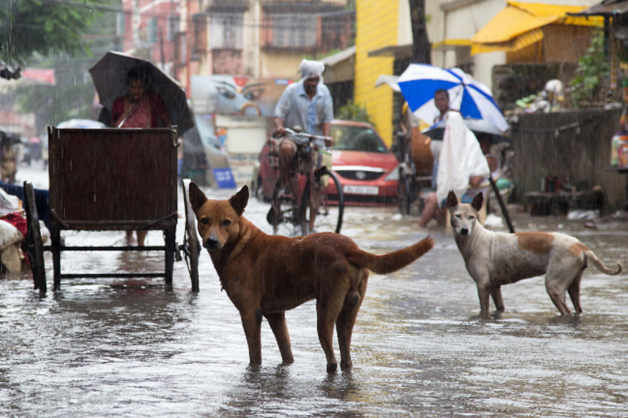 Street Dogs During Monsoon In India