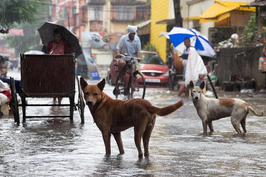 Street dogs in monsoon flooding, Lake Gardens, Kolkata, India. By Brett Cole.