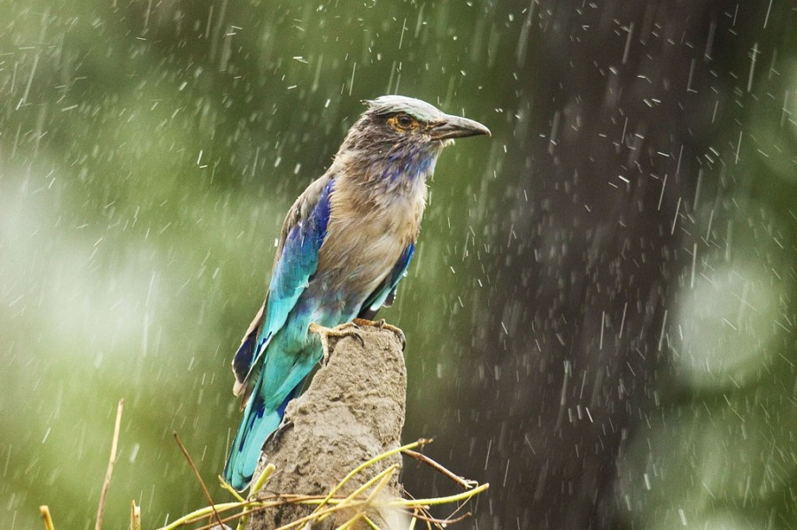 The Indian Roller (Coracias Benghalensis) during a monsoon rain in Karnataka, India. By Sandesh Kadur.