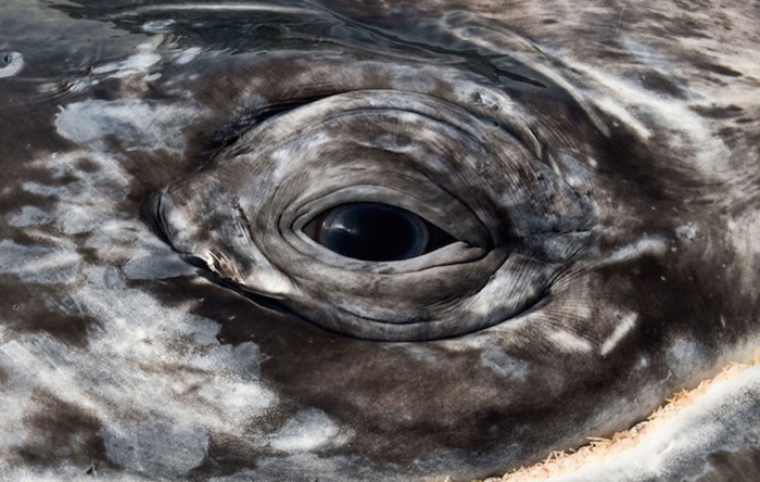 Whale eye close up - Christopher Swann