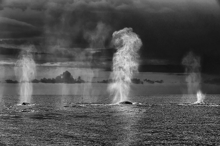 Humping whales photography - Christopher Swann