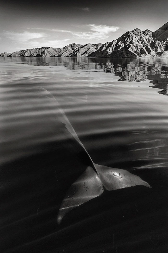 Whale in water photography - Christopher Swann