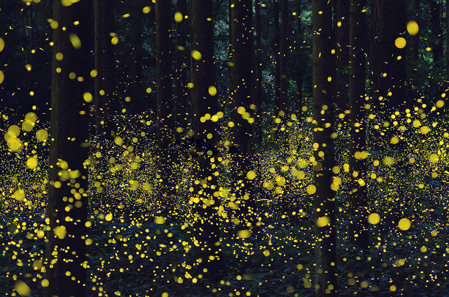 Dense fireflies by Daisuke Aochi Skilled Photographers Capture Japans Gorgeous Summer Firefly Phenomenon