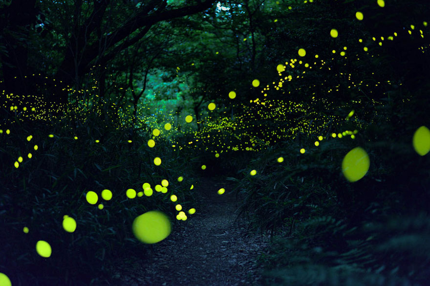FIreflies in cold light by fumial