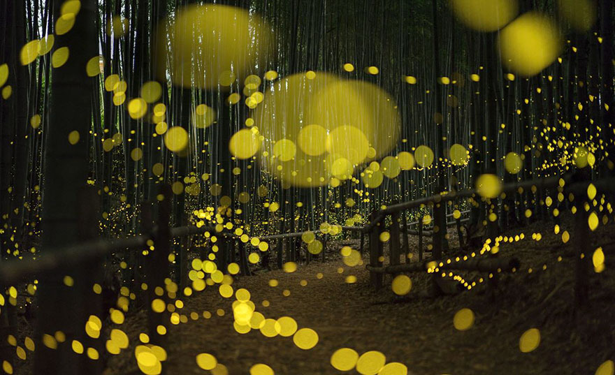 Fireflies along a nature path by Asuka I