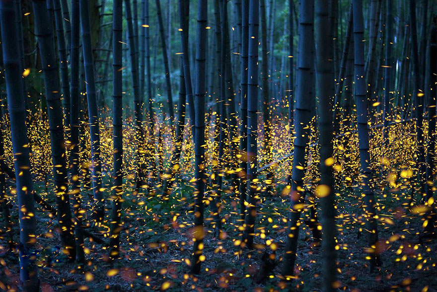 Fireflies just above the ground by Nomiyama Kei
