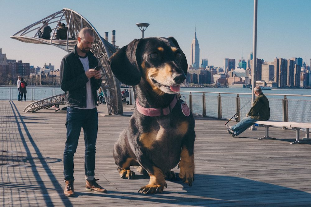 Vivian the  giant daschund, getting to NYC