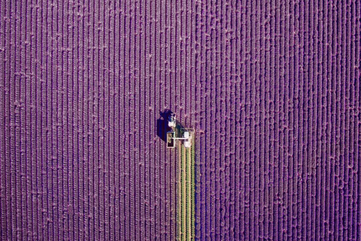 Lavender Harvest – drone photo