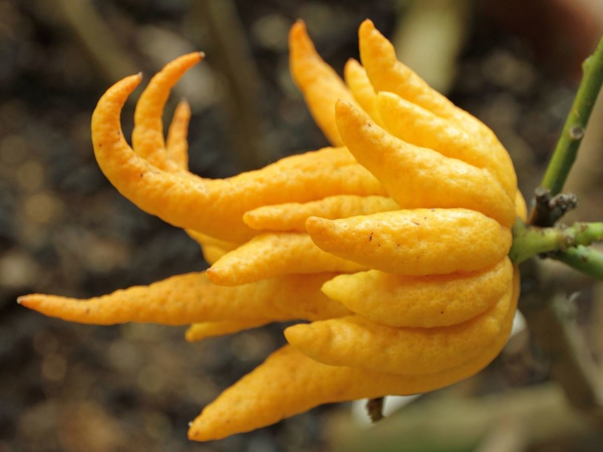Asian Buddha's Hand Fruit