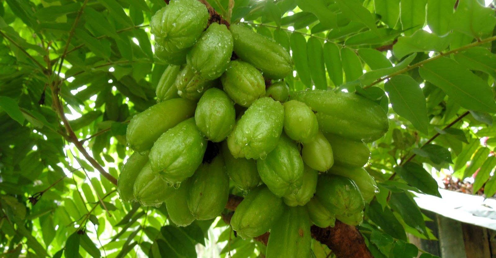 Bilimbi – asian fruit