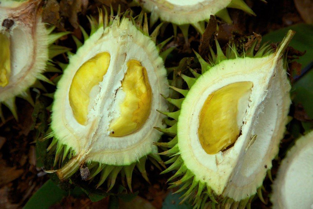 Durian – asian fruit
