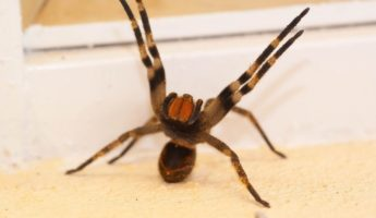 Brazilian Wandering Spider deadly animal 345x200 19 World's Deadliest Animals to Avoid