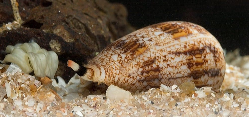 Cone Snail – deadly animal
