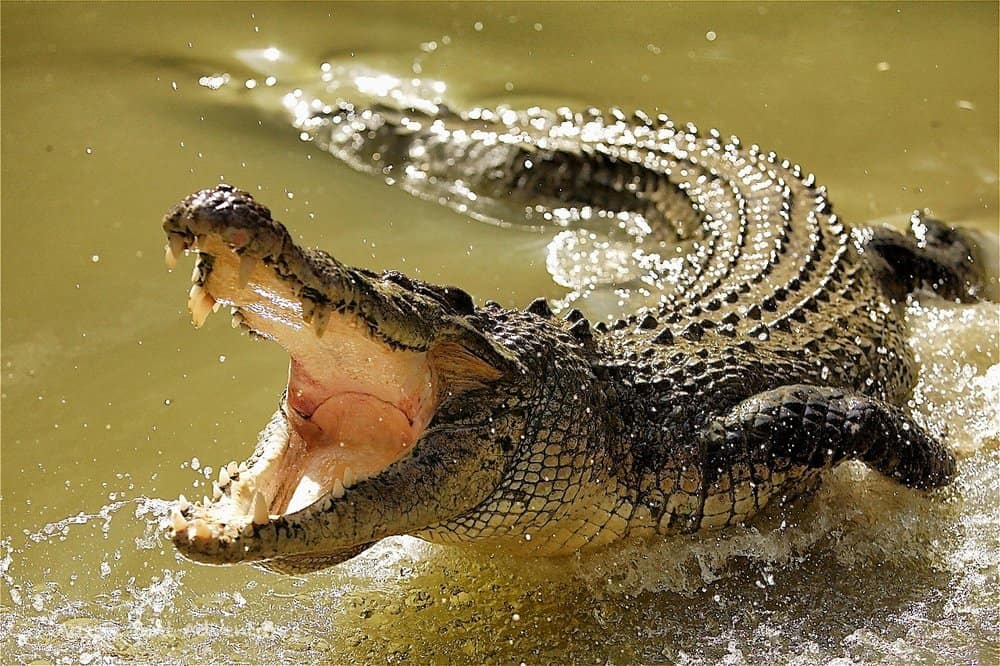 Crocodiles – deadly animal