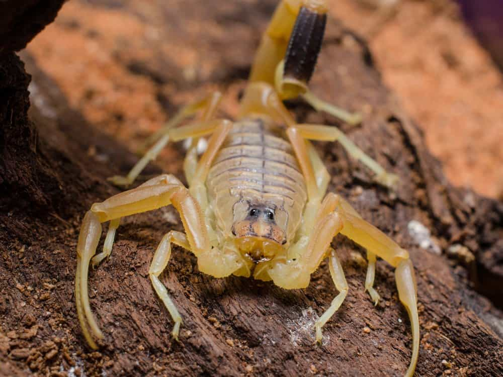 Deathstalker Scorpion – deadly animal