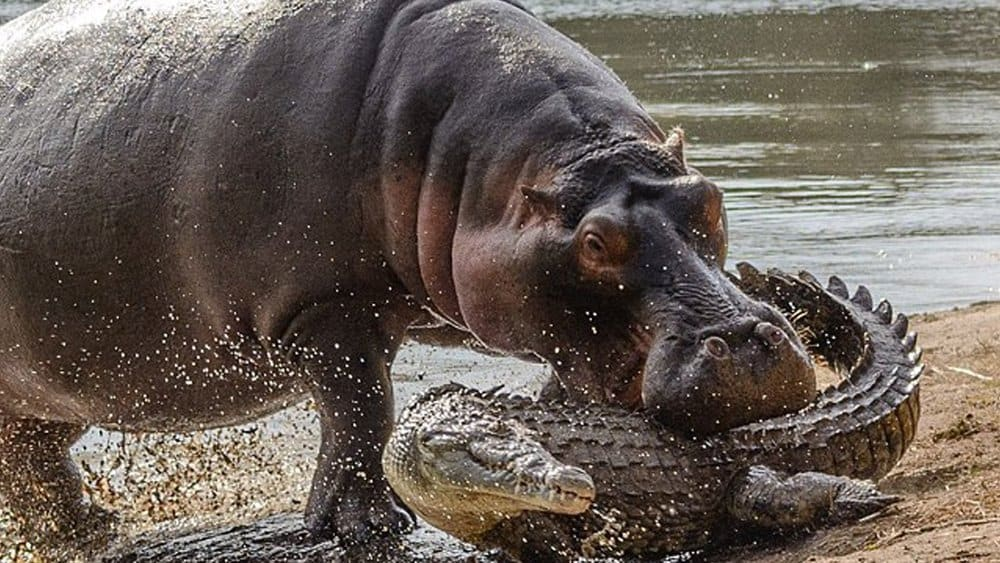Hippopotamus – deadly animal