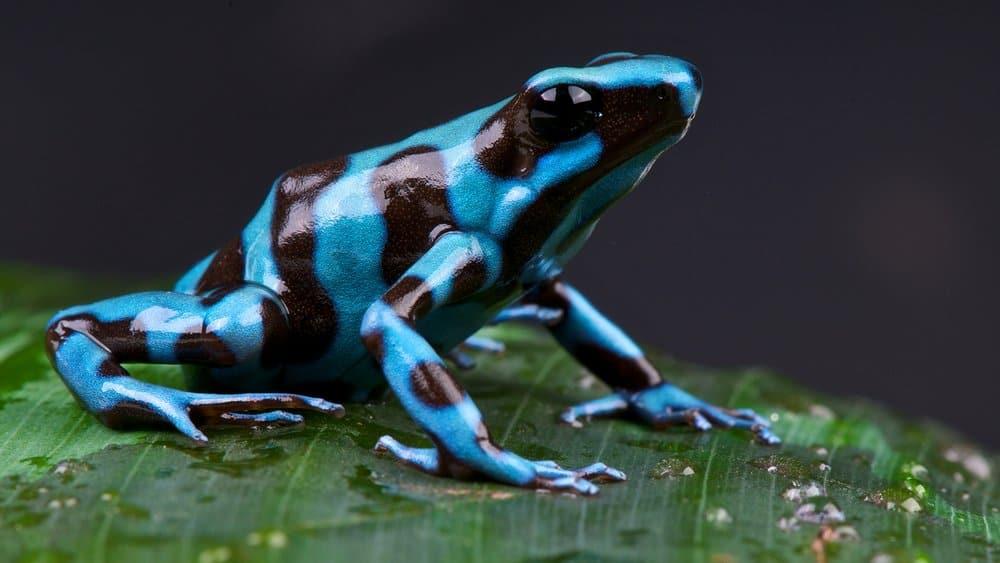 Poison Dart Frog – deadly animal