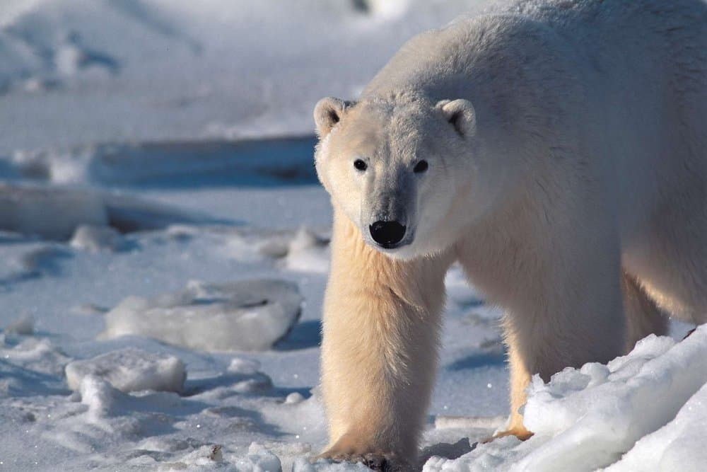Polar Bear – deadly animal
