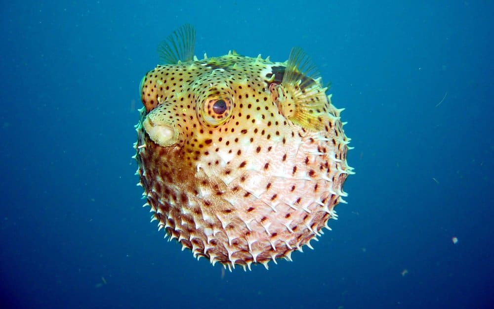 Puffer Fish – deadly animal