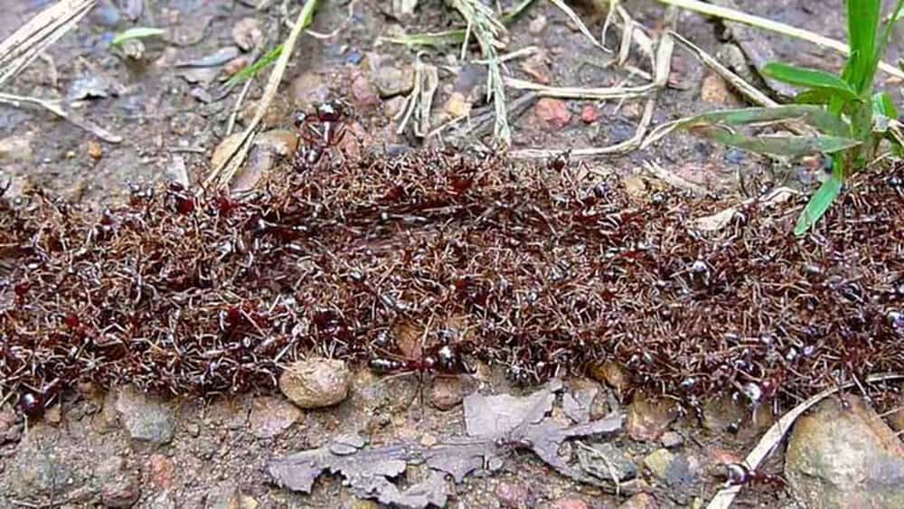Siafu Ants – deadly animal