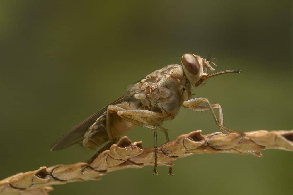 Tsetse Fly – deadly animal