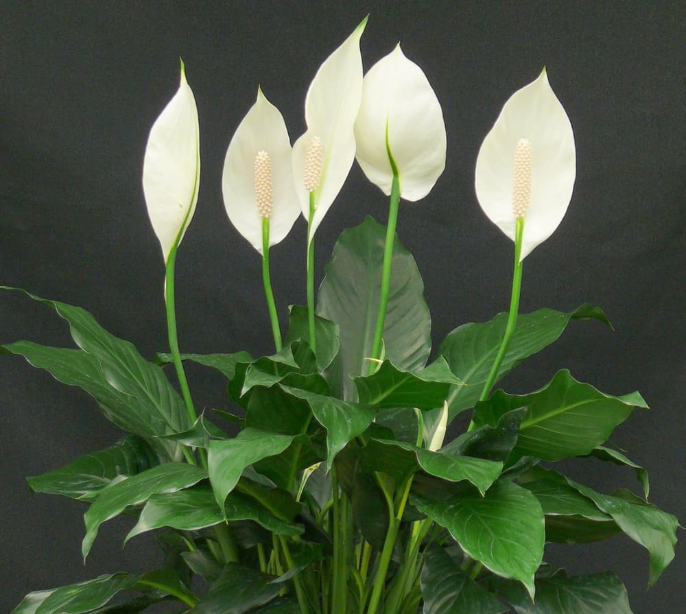 Peace Lilies and English Ivy – clean bathroom