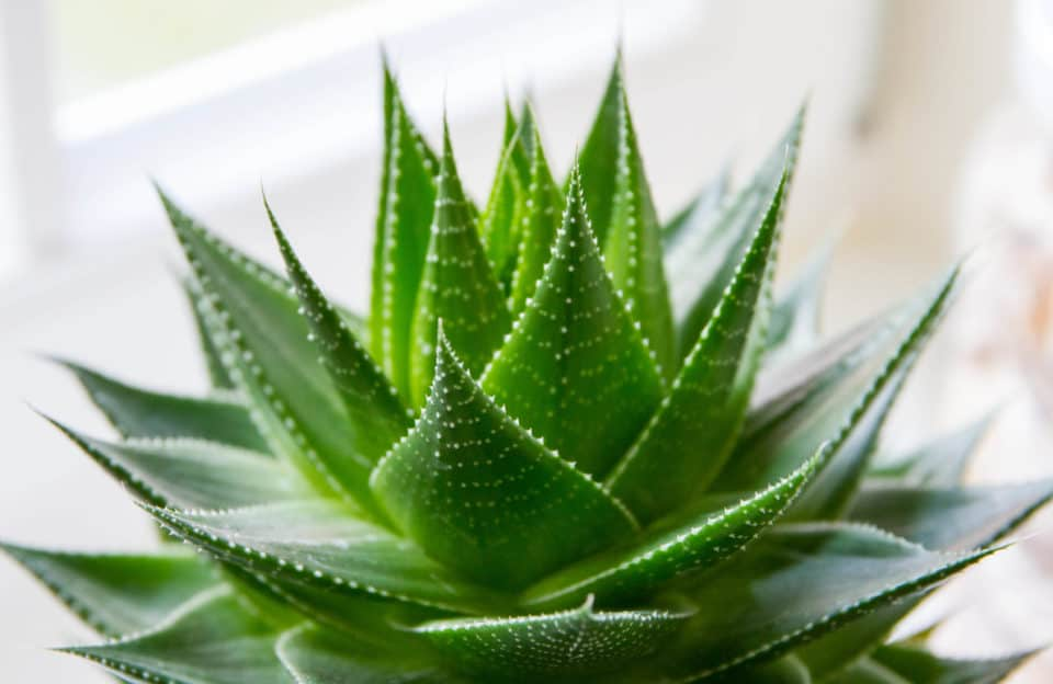 Aloe indoor plant 960x624 13 Beautiful Indoor Plants That Also Filter The Air