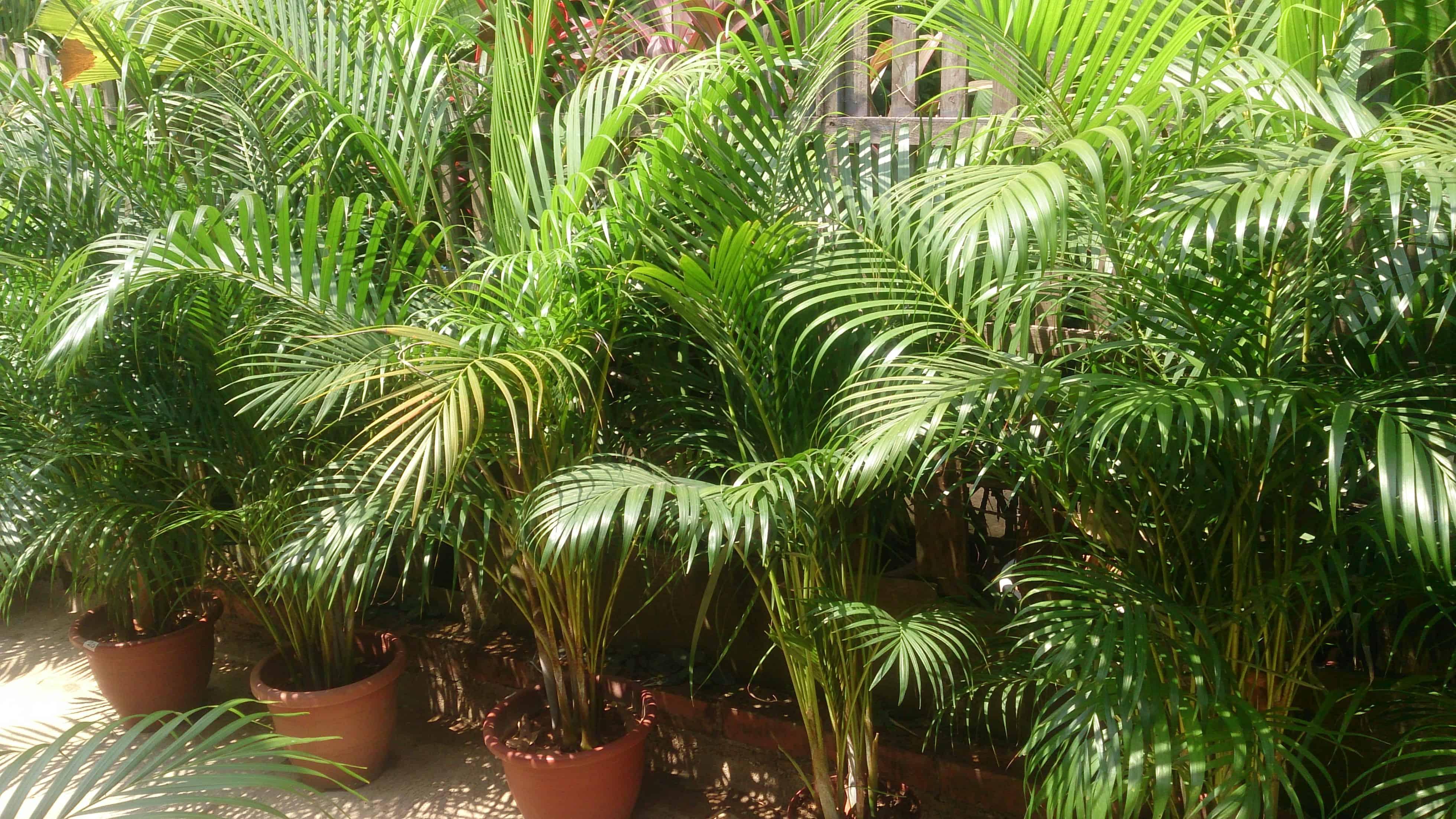 Areca Palm – indoor plant