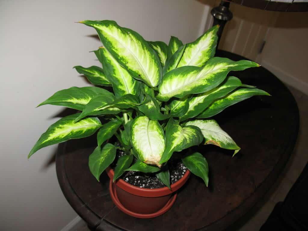 Dieffenbachia – indoor plant