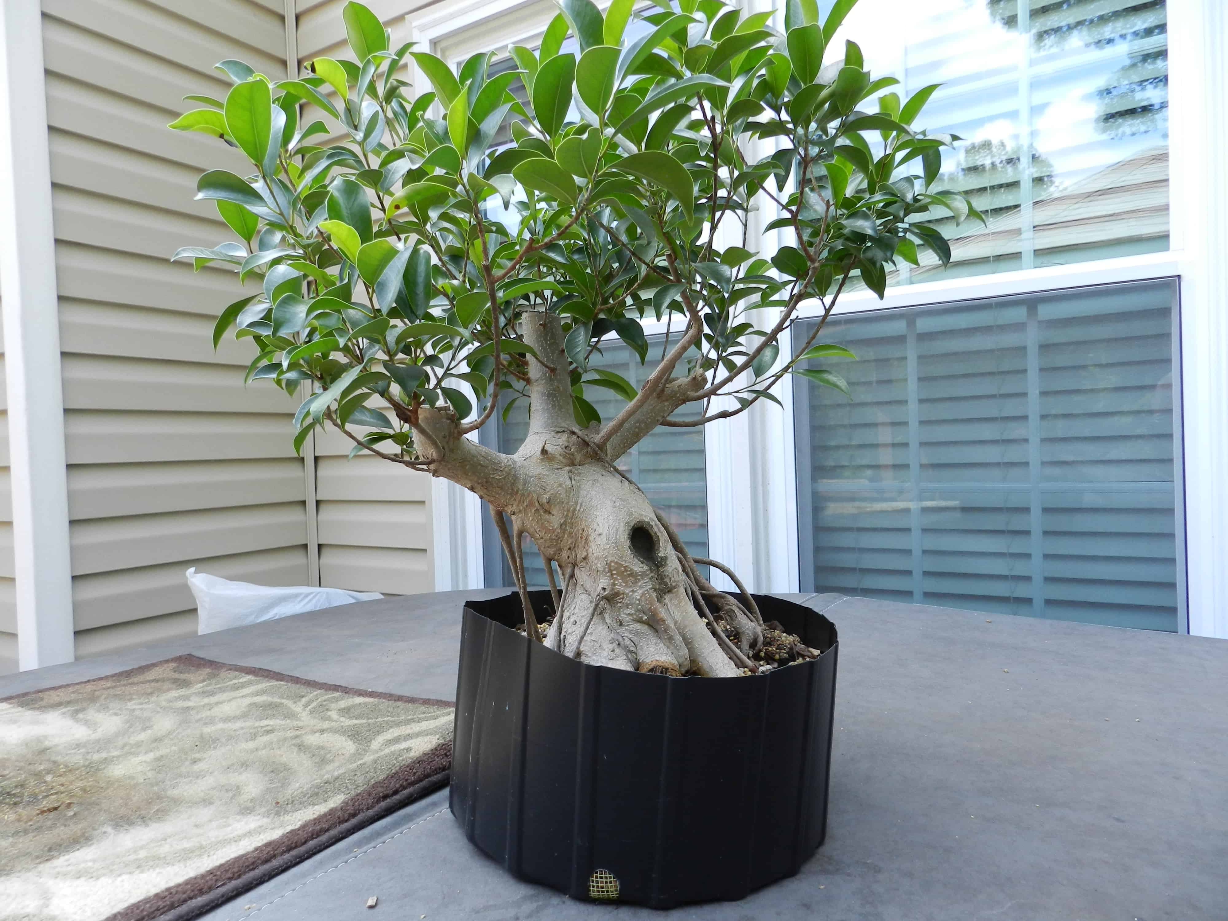 Ficus – indoor plant