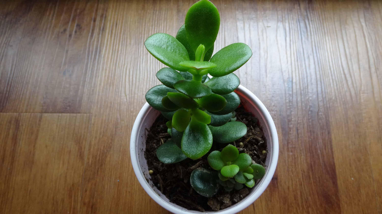 Jade – indoor plant