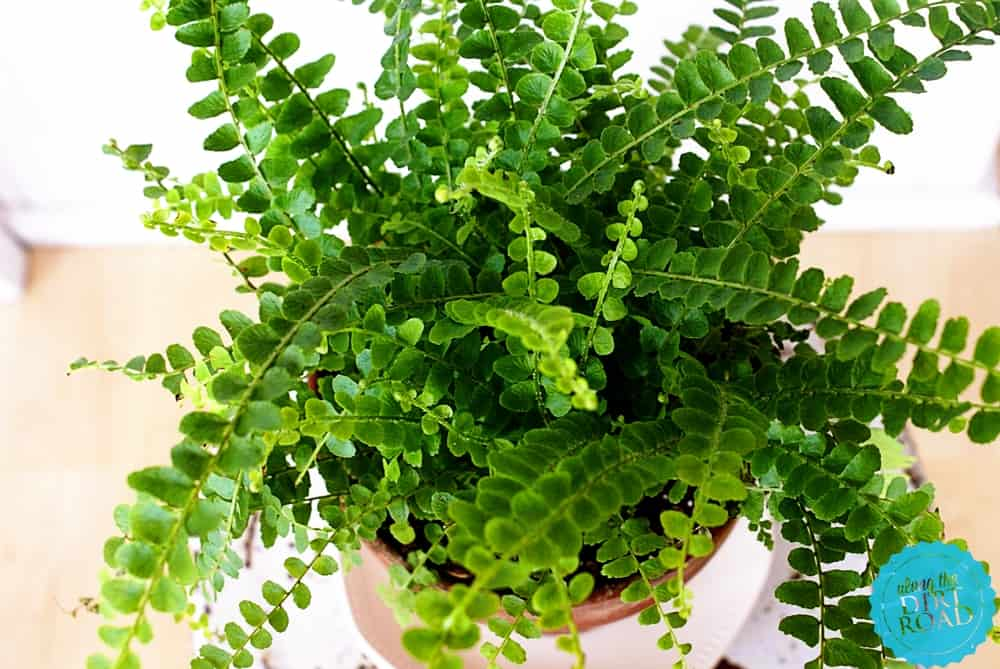 Lemon Button Fern – indoor plant