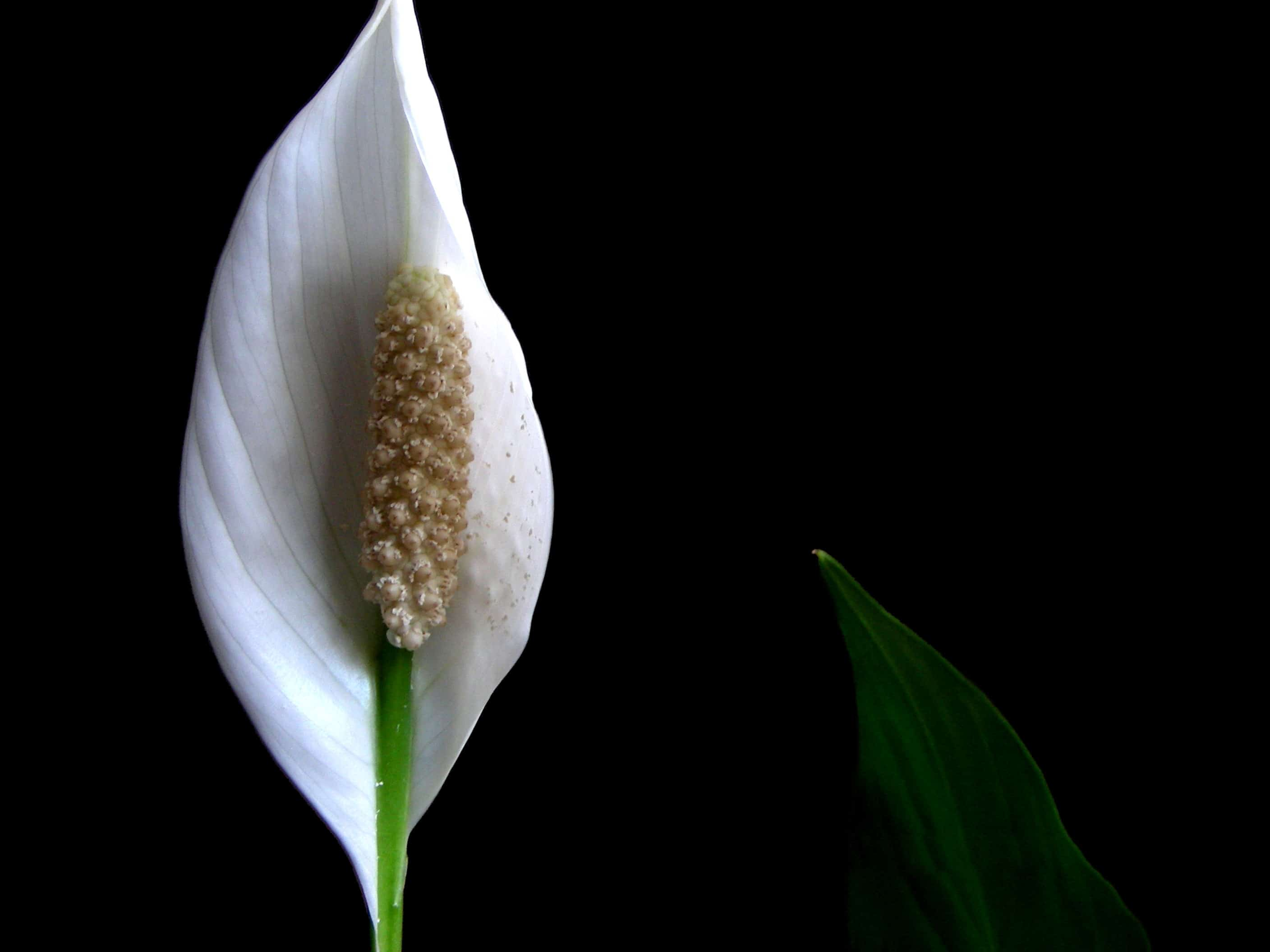 Peace Lily – indoor plant