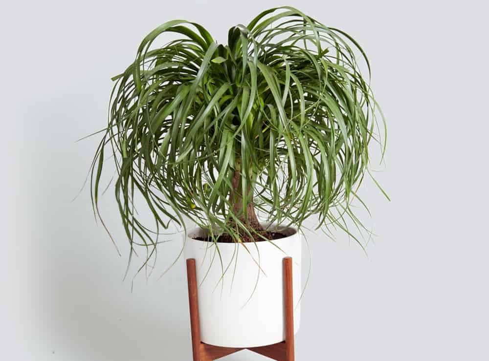 Ponytail Palm – indoor plant