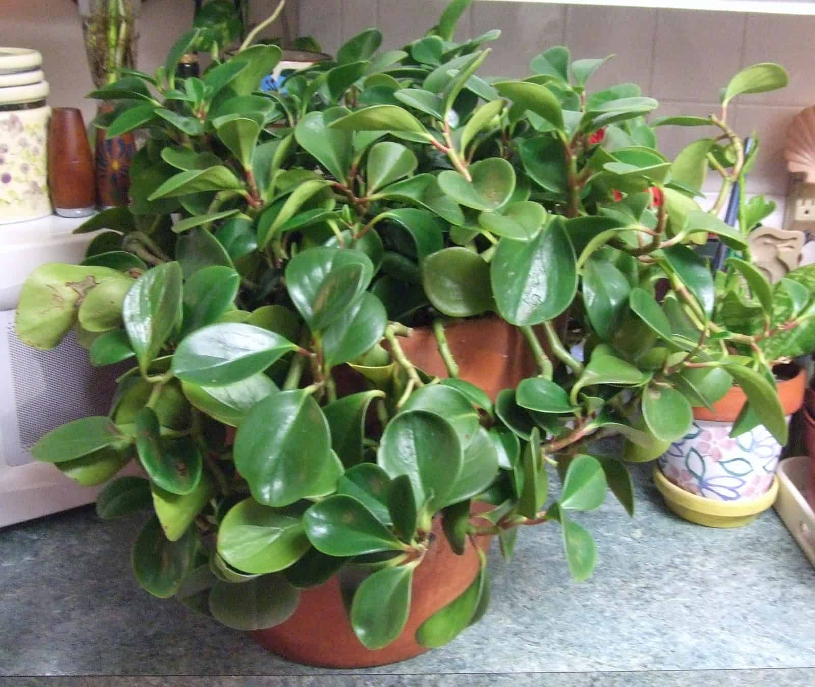 Rubber Tree – indoor plant