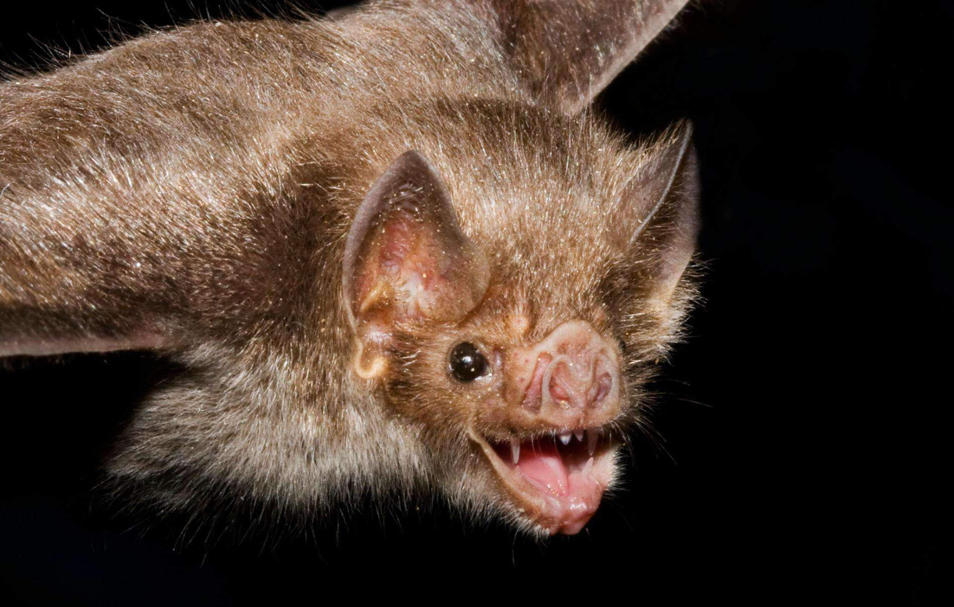 Bats Are Blind – science myth