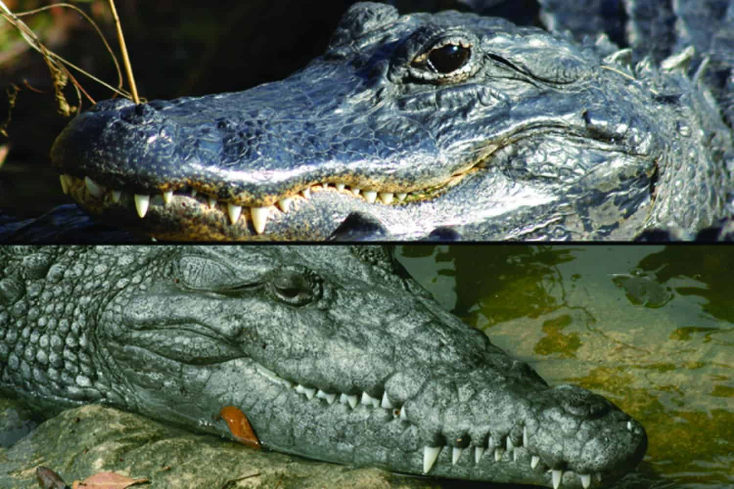 Alligator Crocodile – scariest animal