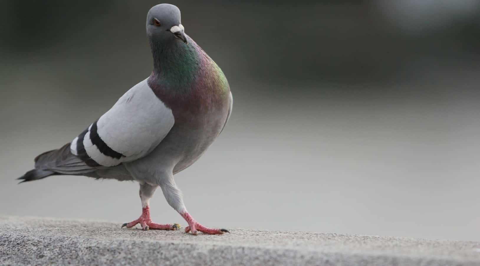 Pigeons – scariest animal