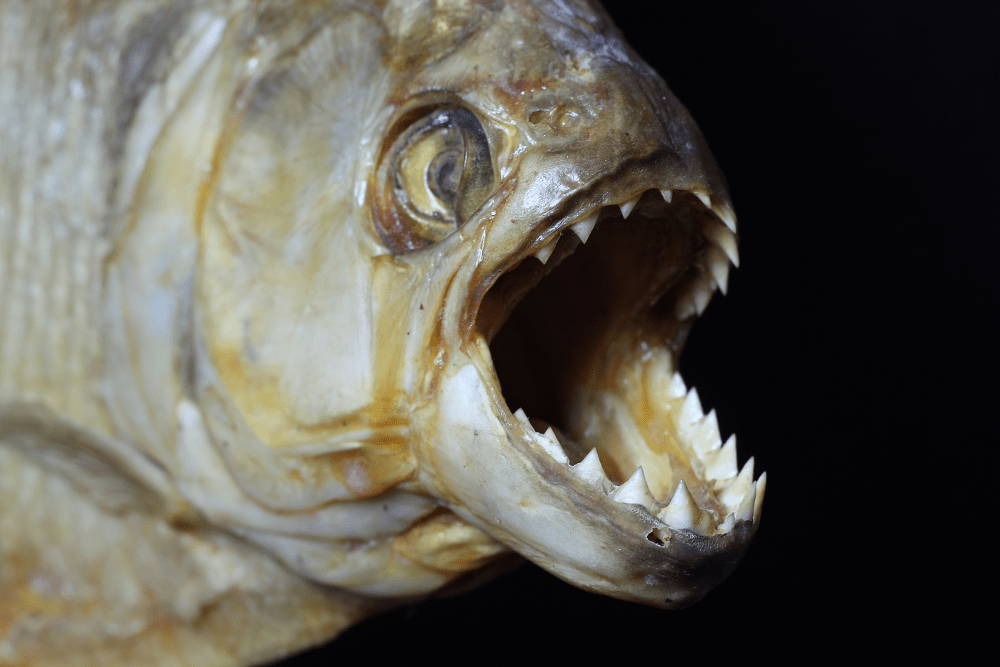 Piranha – scariest animal
