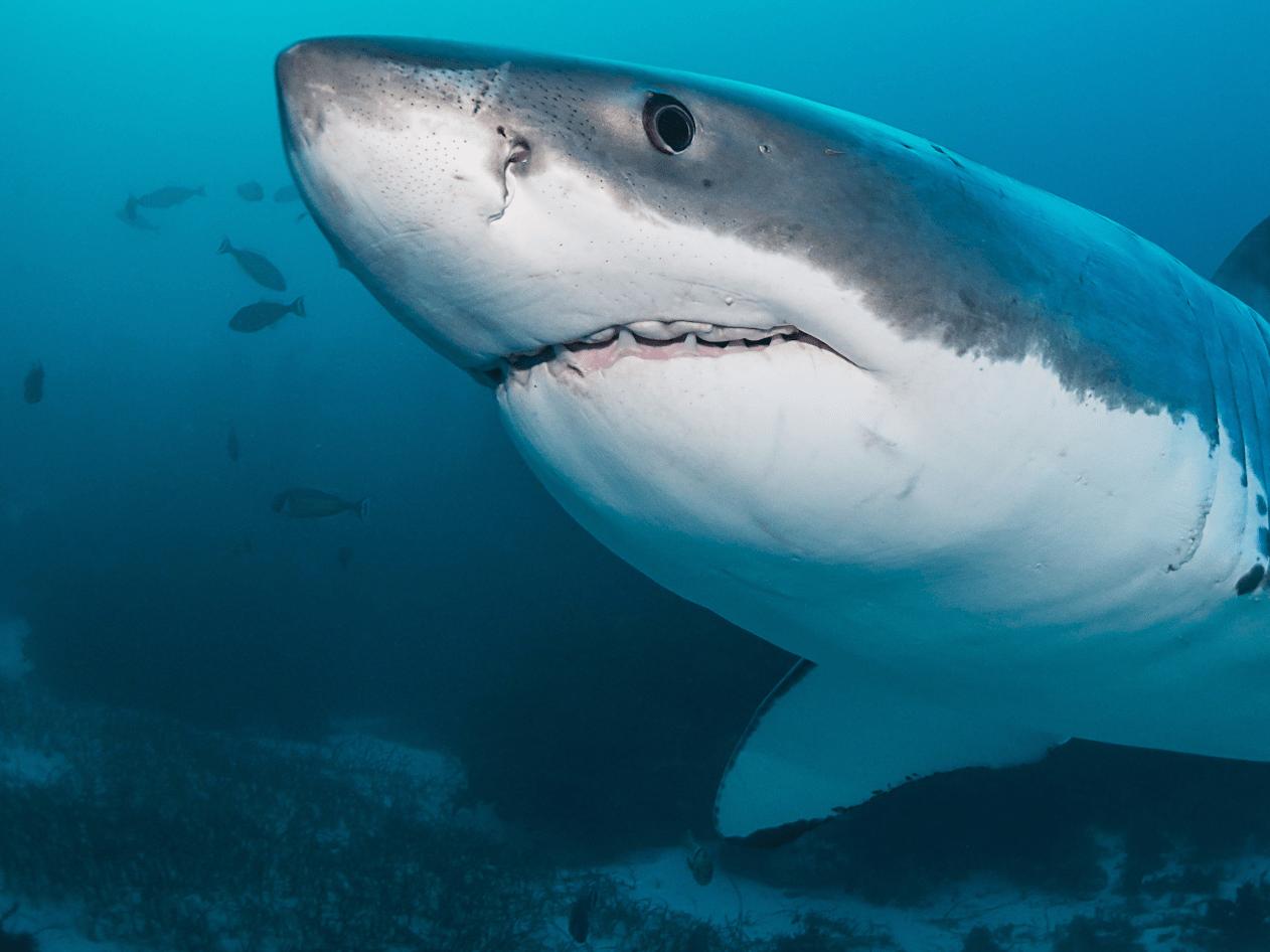 Shark Attack – shark fact