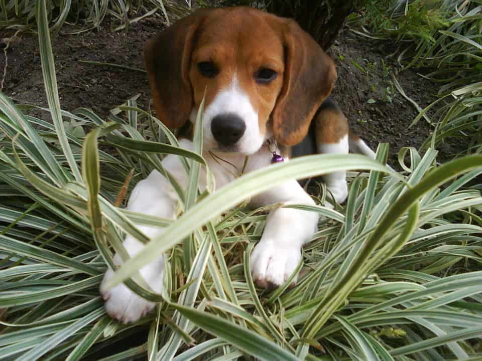 Beagle small puppy breeds