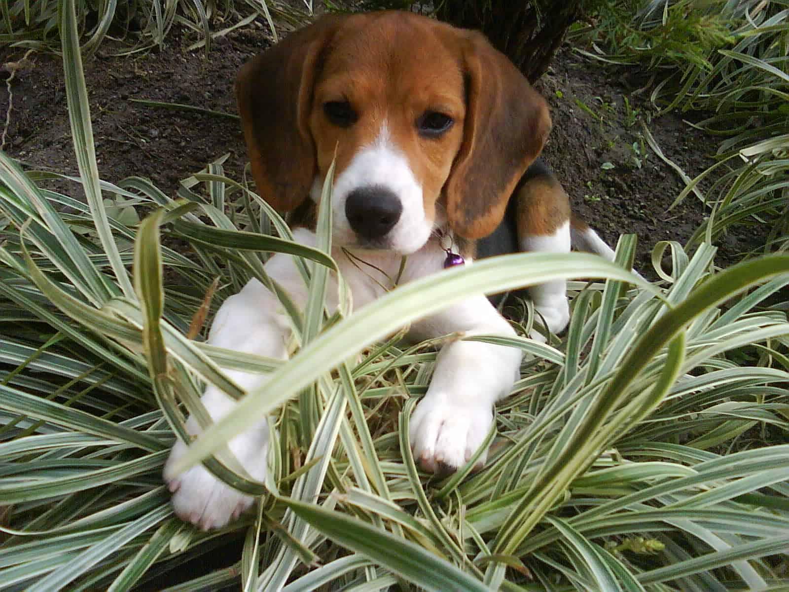 Beagle – small dog breed