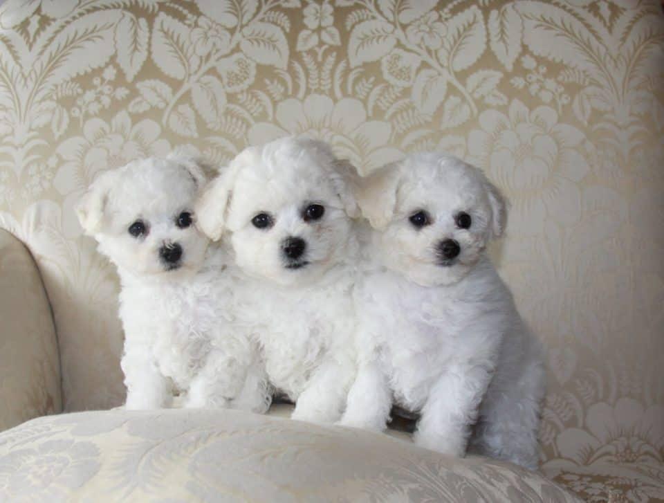 Bichon Frisé little dog breeds
