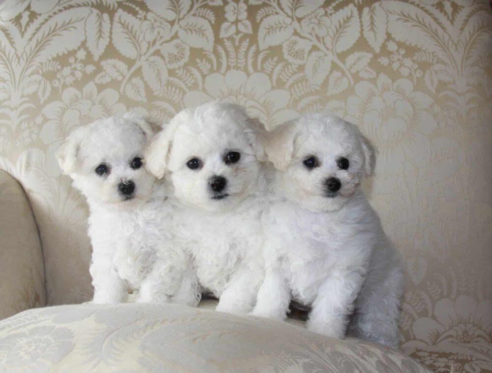 Miniature Dog Breeds - Bichon Frise