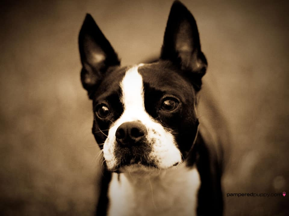 Boston Terrier cool dogs