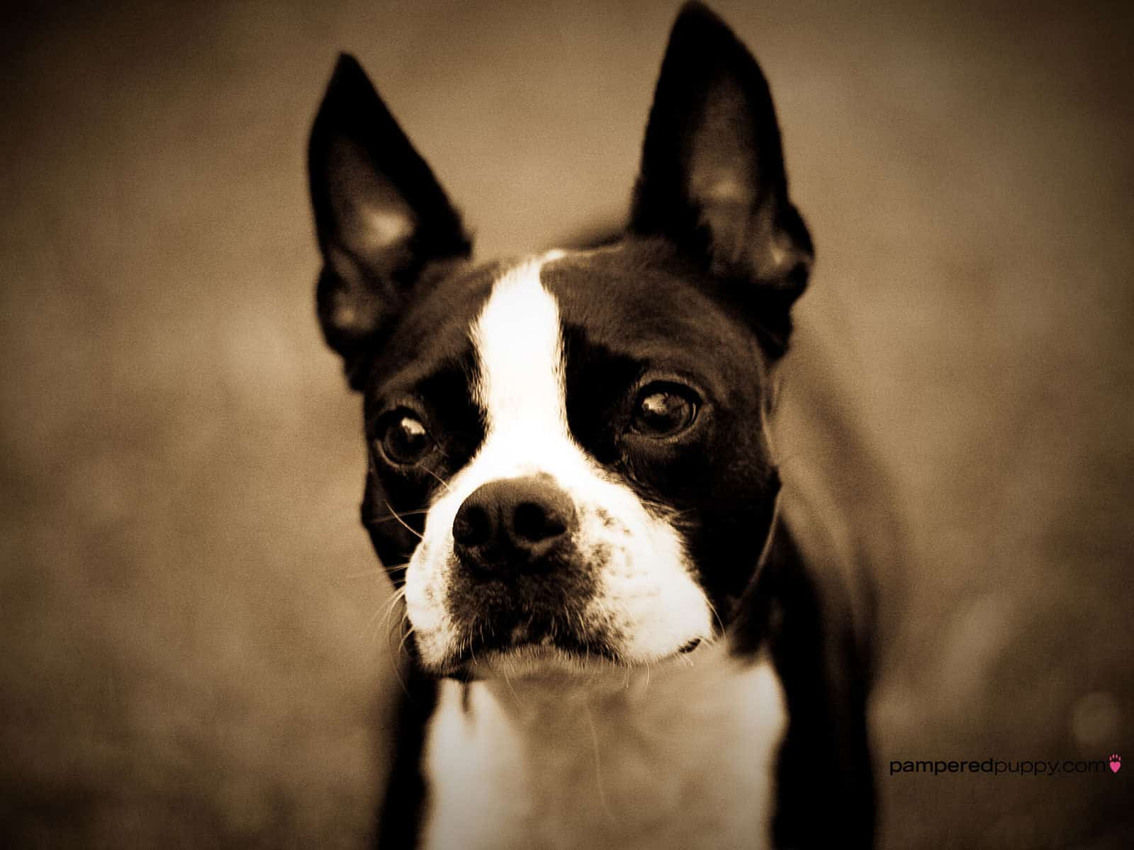 Boston Terrier – small dog breed