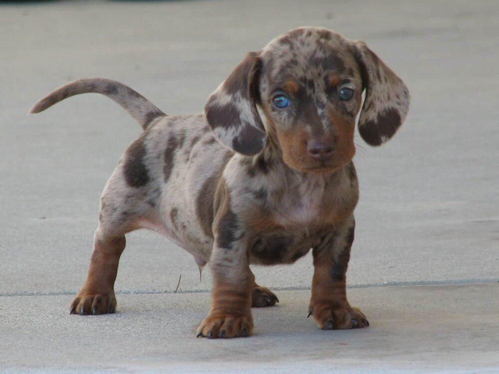Short Legged Dogs - Dachshund