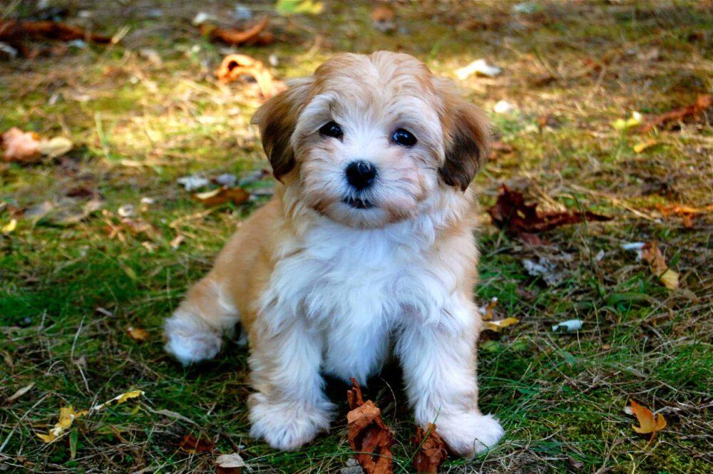Small Puppies - Havanese