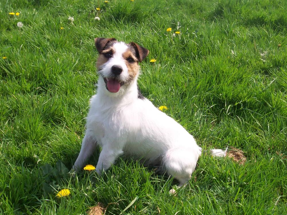 Small Terrier Breeds - Jack Russel Terrier