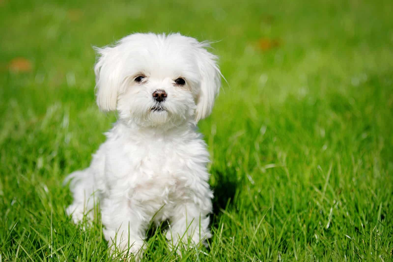 Maltese – small dog breed